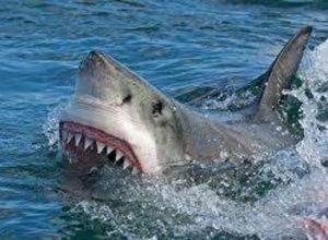 De l'huile de foie de requin pour tout !